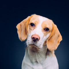 Portrait of a dog. Beagle. studio shot on dark background