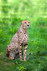 Sitting in the grass Cheetah