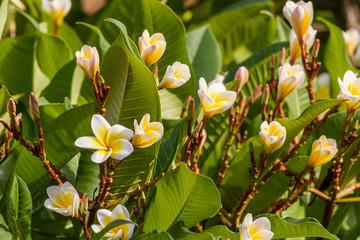 Plumeria or frangipani blossom on the plumeria tree.