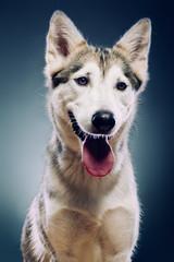 Portrait of a dog. Half Wolf, half Malamute