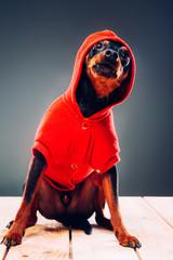 Portrait of a dog. Pinch. studio shot on dark background