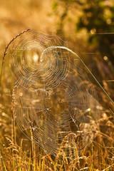 spiderweb in grass closeup in gold tones