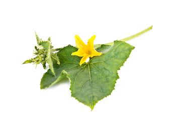 Flower of cucumber
