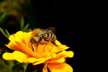 Bumblebee on a flower calendula