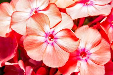 Flower of Phlox