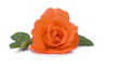 canvas print picture - Rose in Orange