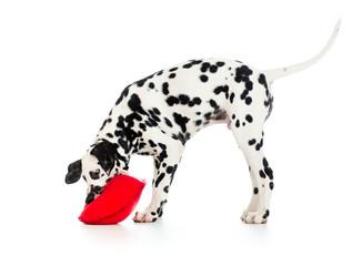 dalmatian puppy dog isolated on white