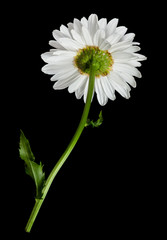 White daisy flower on black