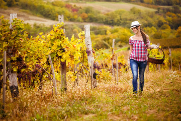 Woman walks with the harvest of grapes