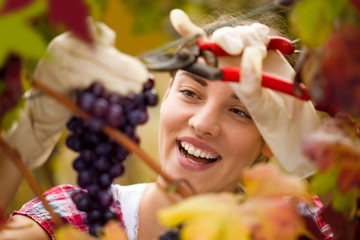 Smiling cute woman harvesting grapes