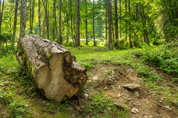 log in an old forests
