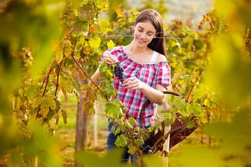 grape picker in vineyard