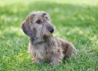 Wire-haired dachshund.