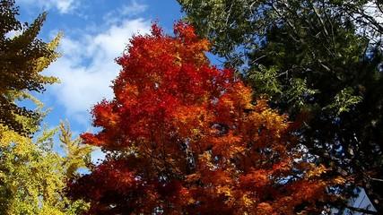 青空と美しい紅葉の木_2