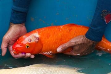 Carp fish ill