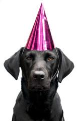 labrador in a party hat