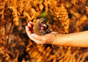 Collecting chestnuts, autumn