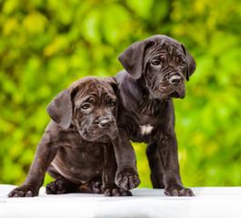 two adorable italian mastiff puppies