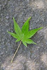 Green maple leaf falling on stone background