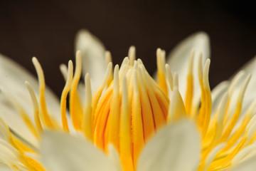white Lotus yellow pollen