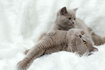gray British cat on a white background