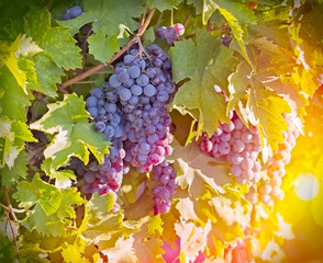 Red - Purple red grapes in the vineyard