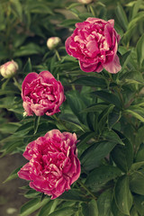 Three dark pink peonies in the garden, vintage toning