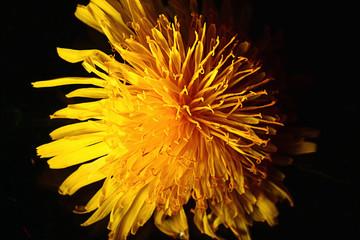 yellow dandelion flower macro
