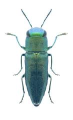 Beetle Anthaxia cylindrica