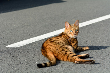 Bengal cat laying in middle of road