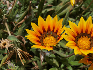 Ägyptische Blume