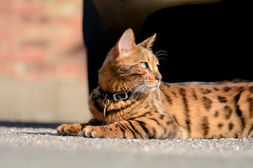 Bengal cat laying on pavement in sun