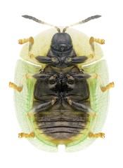 Beetle Cassida rubiginosa (underside)