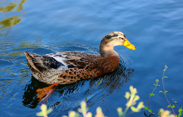 Duck on a blue lake