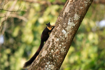 Black giant squirrel (Ratufa bicolor) in Nameri National Park
