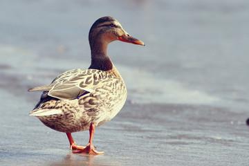 duck on ice spring bird