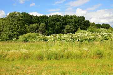 Green meadow in summer with white flower Giant hogweed