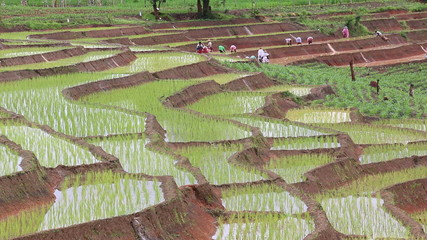 farmers working plant rice in terrace land farm and raining
