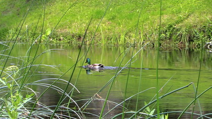 Male duck bird swim against the stream in river water. Follow