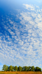 view of the sky above the birch grove, panorama