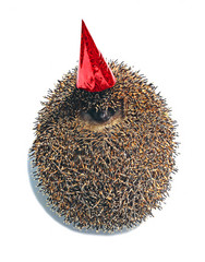 Forest hedgehog in a celebratory cap