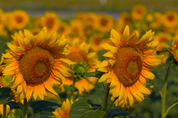 closeup sunflowers