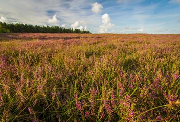 Heidelandschaft auf der Insel Amrum