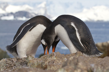 male and female Gentoo penguins which nest near tokuyut