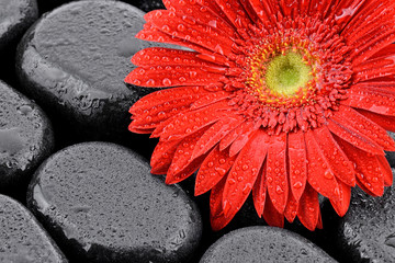 Gerbera na kamieniach bazaltowych