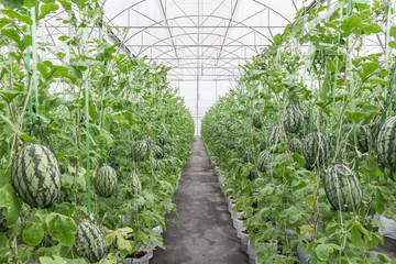 watermelon in greenhouse on field agriculture