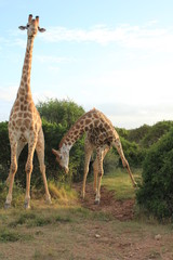 Pair of Giraffes - Bowing 2