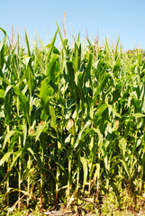 Close-Up of a Corn Field on a Hot Summer Day