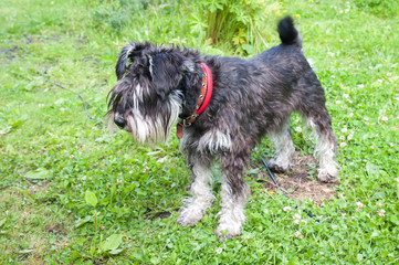 Miniature black and silver schnauzer