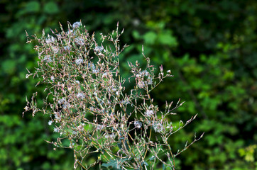 Wild plant on a blurred background